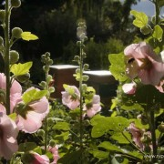 Honingbij op stokrozen