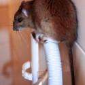 RZ14bruine rat