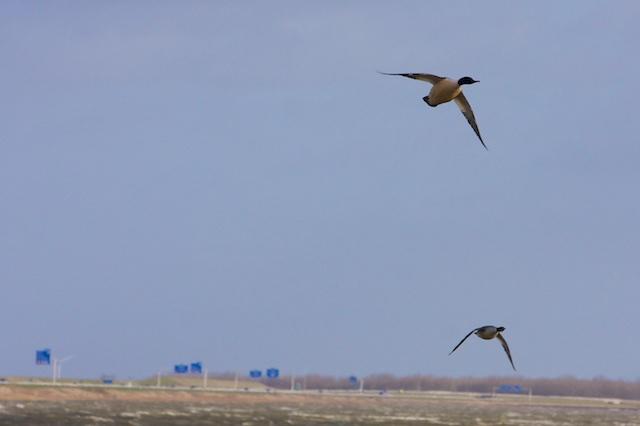 Grote zaagbekken Afsluitdijk. In zachte winters blijven ze meer hangenl in de Oostzee bij de Oderdelta