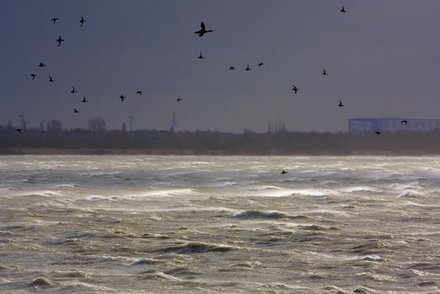 grote zaagbekken en toppereenden boven stormachtig IJsselmeer