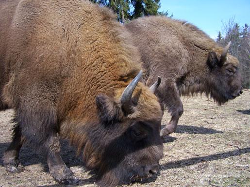 Natuurmonumenten laat bestaande natuur Schier door exotische bisons vertrappen