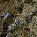 Noordse Stormvogel: Veel zeevogelkolonies zullen inkrimpen door plotse aanlandplicht bijvangst