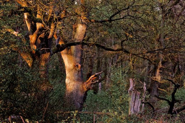 Van de natuur van 1700 is alleen deze ruim 300 jaar oude eik nog over