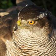 Ook een weidevogel tegenwoordig, de havik, maar volgens natuurbestrijders niet de goede....