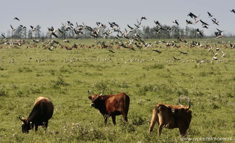 Nieuwe Wilderkitsch. De ganzenlandingsbaan van de Oostvaardersplassen is garantie voor vogelaanvaringen met vliegtuigen