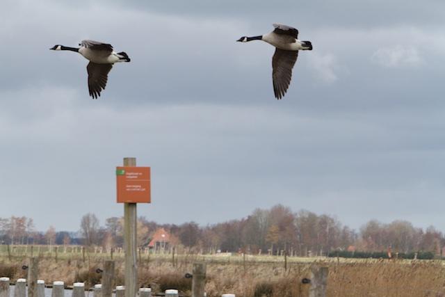 Exotische Canadese ganzen vliegen bij Staatsbosbeheer vandaan...