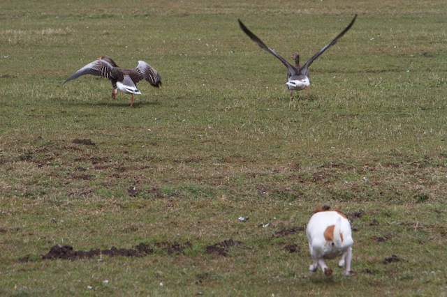 Trudy jaagt deze ganzen naar de gedoogzone, ze hadden het bordje verkeerd gelezen