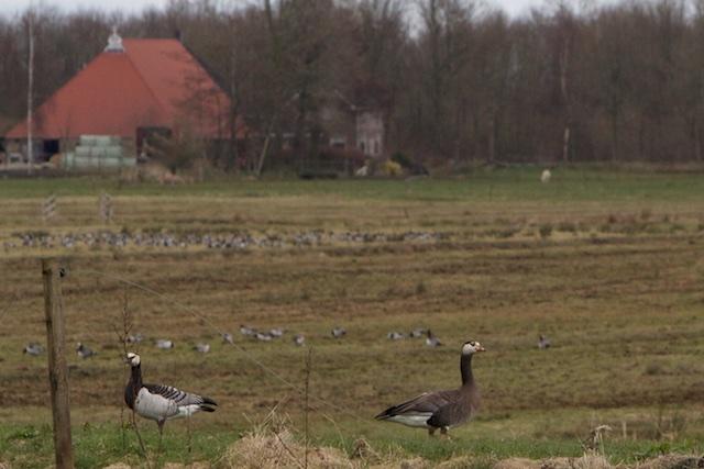 Weiland of 'natuur', zoek de verschillen. De ganzen zien het verschil niet...