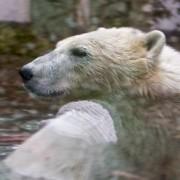 De ijsbeer maakt nog steeds dodelijke slachtoffers, zie http://en.wikipedia.org/wiki/List_of_fatal_bear_attacks_in_North_America