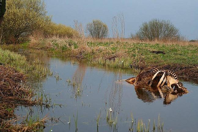 Kadavers mogen (buiten de OVP) niet in de natuur blijven liggen, vanuit boerengezondheidsregels
