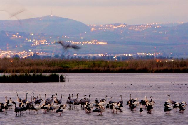 Kraanvogels in Hula Reservaat Israel: hier landen ze bij tienduizenden