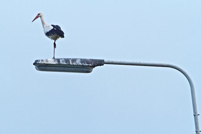 Ooievaar op de loer: De nieuwe weidevogels doen het WEL goed