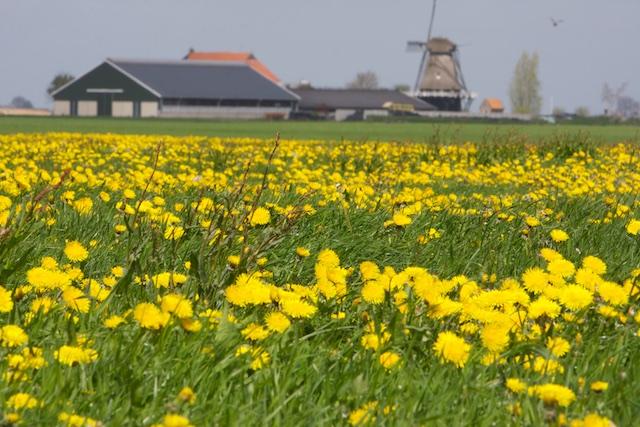 ..ook dit bloemenland is nu succesvol groen gesteriliseerd voor de melkplasproductie