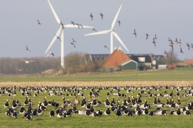 Hier weet Maarten Loonen ALLES van, die ganzen!