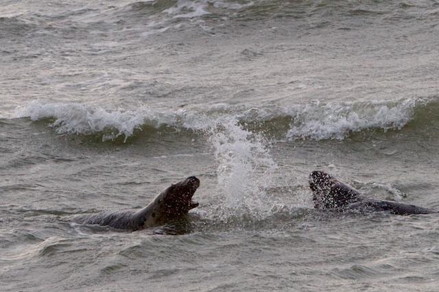 Megafactor: stormachtig toegenomen zeehondpredatie van vis