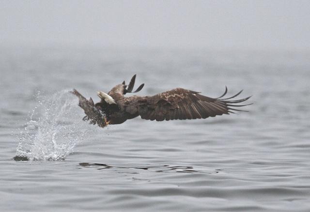 ...zeearend is terug, dat zou ook zonder Natura 2000 gebeuren