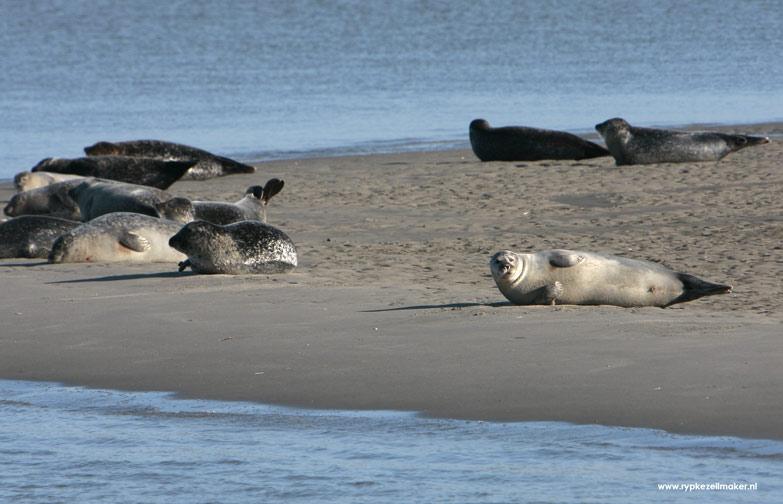 Zeehonden eten 8-13 voudige volume vis vergelijken met onttrekking Wadvisserij