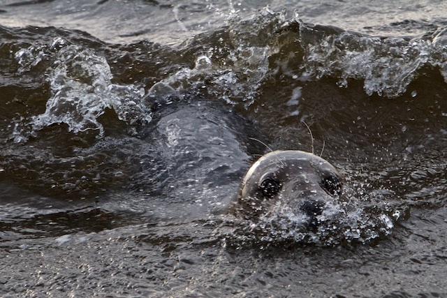 Grijze zeehond, afgelopen jaar werden liefst 3500 van deze 2 maal grotere zeehonden geteld, die hier in 1980 nog niet voorkwamen