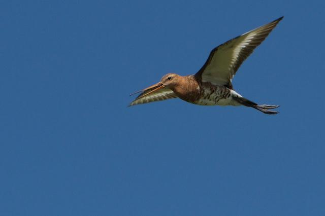 Ondanks tientallen miljoenen weidevogelsubsidies per jaar halveerde de gruttostand sinds 1990