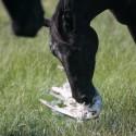 Friese Gea: 'paarden zijn nodig voor de kokmeeuw'