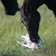 Paardenbegrazing