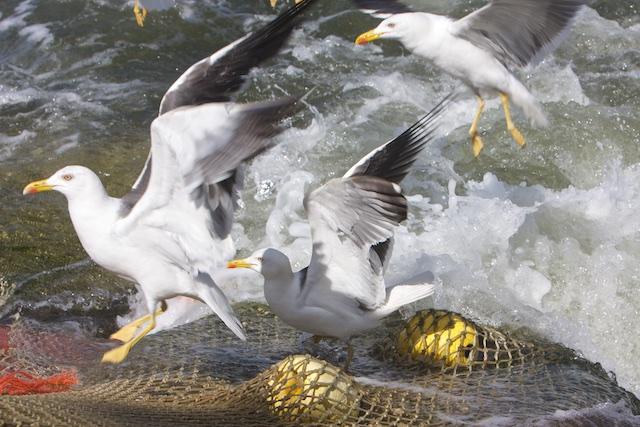 ...na de kokkel- en mosselvisserij is nu de garnalenvisserij aan de beurt