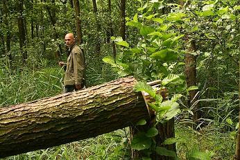 Omgezaagde nestboom havik De Potten, straks heet dit 'predatiebeheer' en is het legaal