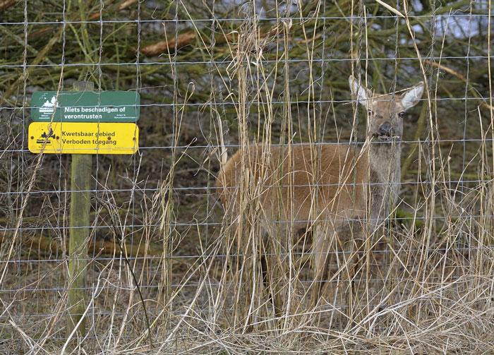 De natuurlijkheid volgens Olff: herten opsluiten en laten wegrotten. Foto Martijn de Jonge