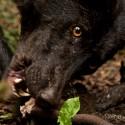 Wildernisicoon de wolf komt meer voor op door mensen beinvloed land met kunstmatig hoge wilddichtheden