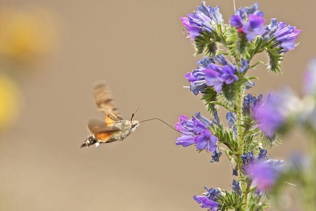 Kolibrivlinder op slangenkruid, in de Eifel genomen