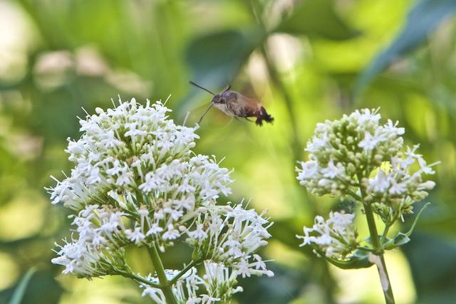 Zo maar in de voortuin, de kolibrivlinder op bezoek!