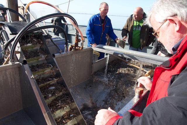 Spoelsoorteermachine houdt vangst nat, bijvangst gaat levend terug, tenzij meeuwen en zeehonden er beslag op leggen