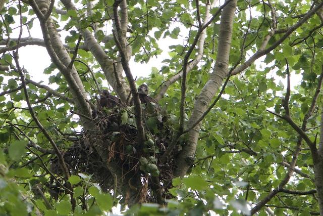 Bij het PBL bestaan deze jonge buizerds niet en deze boom ook niet, want aangeplant.....