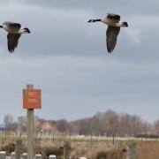 Met name bij eenden en ganzen veel verwilderde populaties van in gevangenschap gehouden vogels zoals de Canadese gans