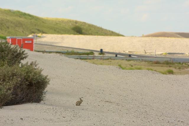 Konijnenplagen hielden dankzij afwezigheid roofdieren de duinen open