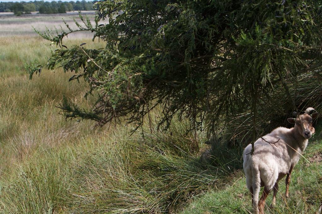 Beehh, de strijdkreet van een strijder van staatsbosbeheer tegen het spook van de Verbossing