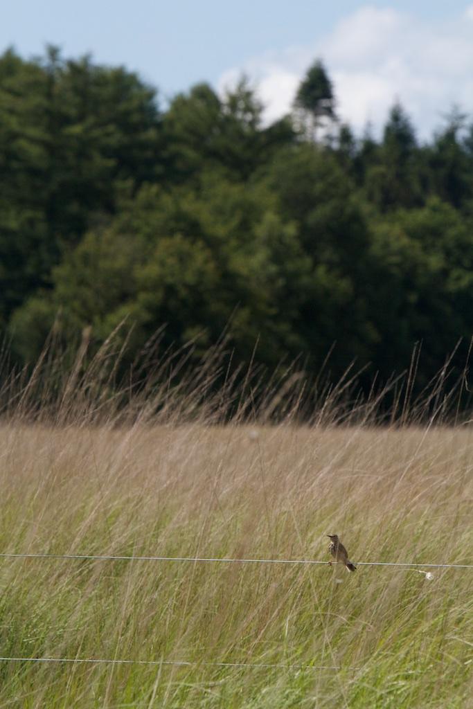 Een pieper die de vogelaar voor roofdier aanziet of ook gewoon denkt: die is gek