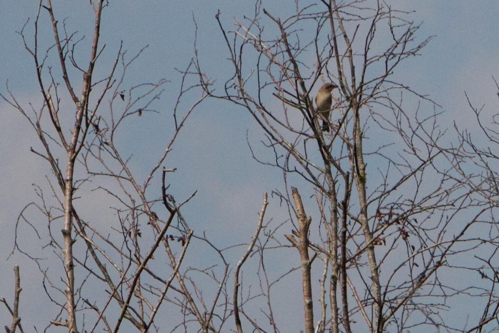 Een zangvogel met haaksnavel
