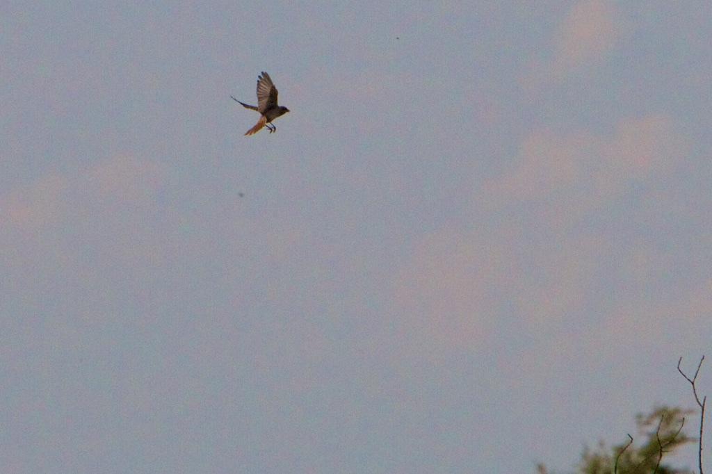 Daar is ie, de grauwe klauwier op jacht, een zangvogel die rooft maar beter jaagt dan zingt.