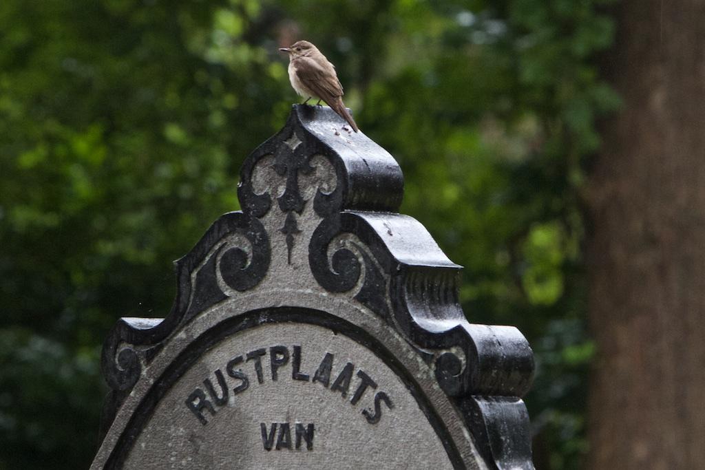 Grauwe vliegenvanger: hoogste broedsucces in menselijke omgeving, aldus Europese Vogelatlas 1997, nu op Rode Lijst dankzij NW-Europese achteruitgang in jaren '70-'80