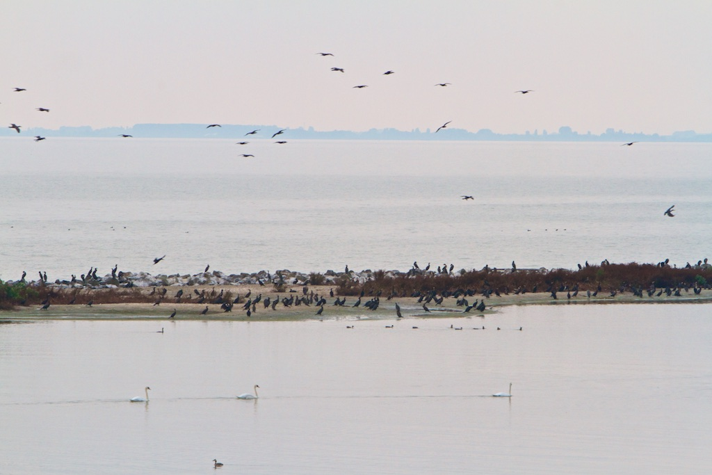 Concurrentie met de aalscholver kan meer limiterend zijn voor pelikaan dan temperatuur