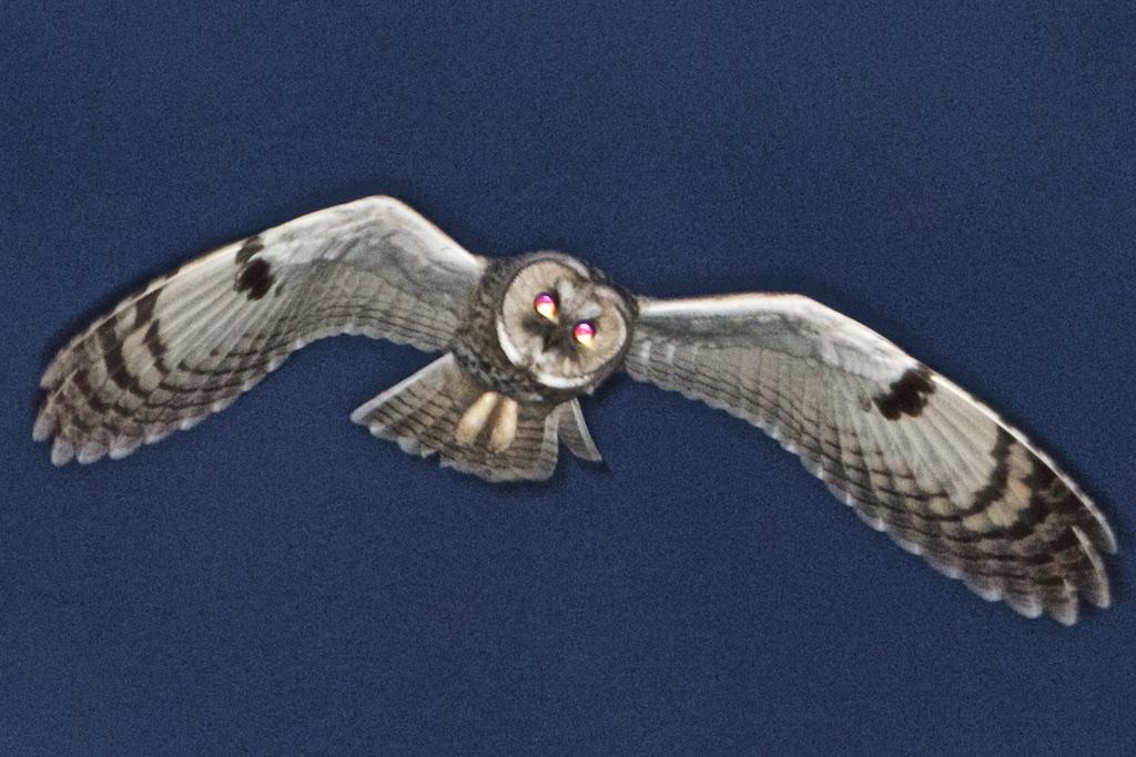 Kwam plots de Rode LIjst opvliegen in 2005, maar dankt neergang jaren '90 mogelijk aan succes roofvogels jaren '90
