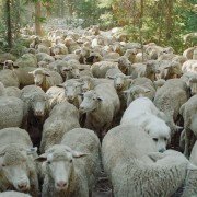 herd mentality sheep-sweetgrass2