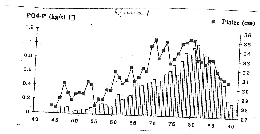 Figuur 1: gemiddelde lengte van 4 jaaroude wijfjes schol in het 1e kwartaal per jaarklas, twee jaar teruggezet in de tijd (zwarte vierkantjes) en  de jaarlijkse afvoer van fosfaat (witte staven) van de Rijn bij Lobith. Gegevens fosfaat : RIZA. Schol: Bannister (1978) en Rijnsdorp en anderen 1991 (aangevuld).