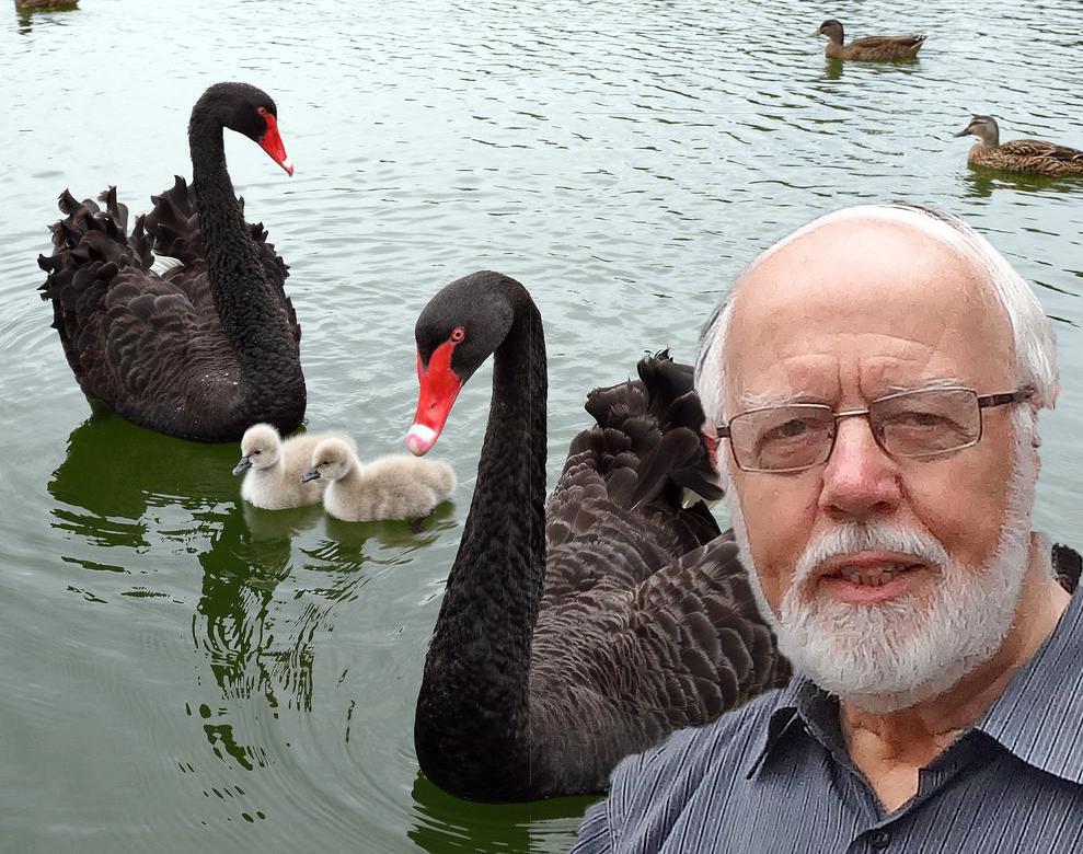 Gerrit van Lingen achtergrond black-swans-with-chicks