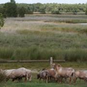 Primitieve weidecultuur van het Staatsbosbeheer Klokbekervolk in Duurswoude