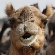Camel-Fair-Pushkar-India-Nose-Animal
