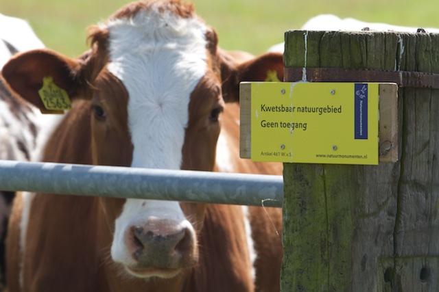 ...en met het juiste bordje er bij van 'Verboden Zone' heet zo'n koe plots weer wel natuur