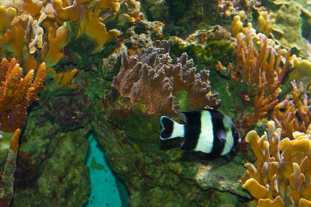 Plotse El Nino-temperatuurstijgingen veroorzaken sterfte van koraal, maar geleidelijke temperatuurstijging doet koraal vooralsnog prima groeien
