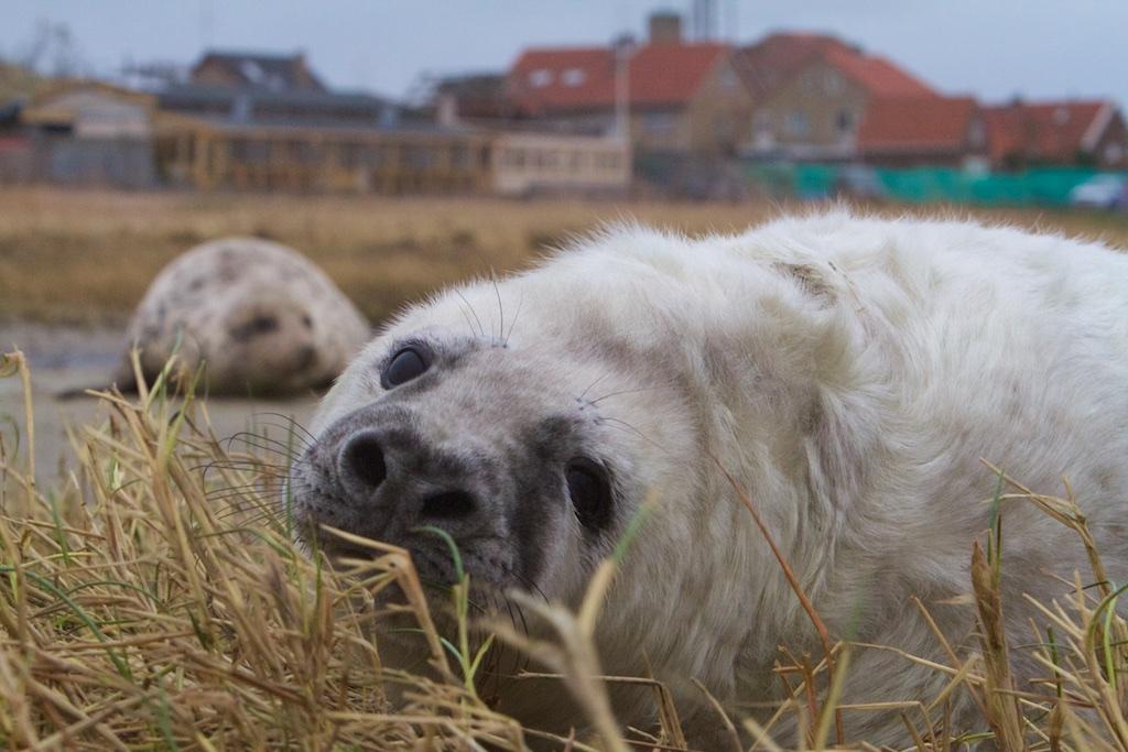 Grijze zee-pitbull, 1 van de 3 redenen om de Klaverbank tot Sperrgebiet uit te roepen, terwijl die niets van doen heeft met kwalificerende eigenschappen voor het gebied